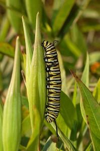 Гусеница данаиды монарх