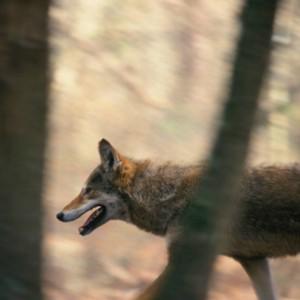 Рыжий волк в природе
