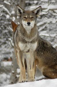 Самец рыжего волка