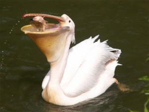 Розовый пеликан с пойманной рыбой