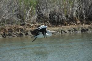 Пеликан в полете