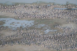 Колония австралийских пеликанов