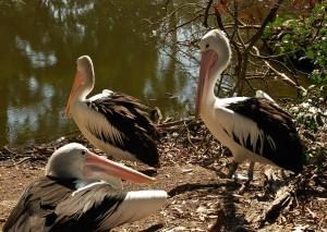 Пара австралийских пеликанов