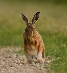 Заяц русак за умыванием