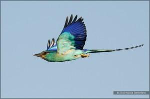 Абиссинская сизоворонка в полете