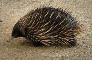 Австралийская ехидна