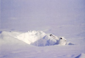 Вырытая зайцем-беляком нора в снегу