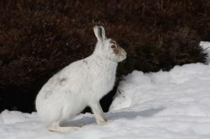 Заяц на проталине