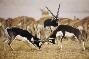 Схватка самцов антилопы гарны