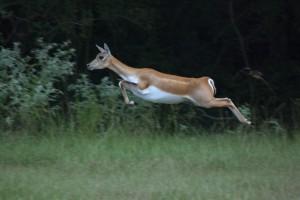 Гигантские прыжки антилопы гарны