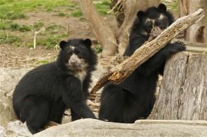 Медвежата очкового медведя