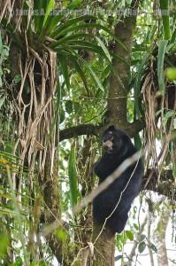 Очковый медведь очень ловко лазает по деревьям