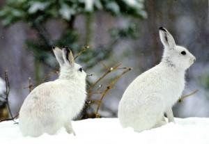 Пара беляков в зимнем наряде