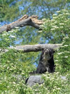 Заинтересовавшийся очковый медведь