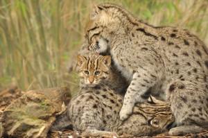 Самка виверрового кота с котятами