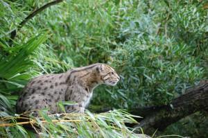 Виверровый кот в засаде