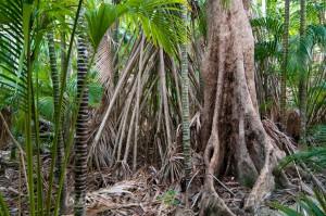 Выросты при основании деревьв в экваториальном поясе