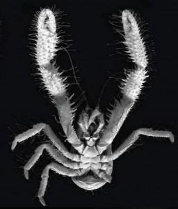 Крабы-«йети» разводят бактерий на своих клешнях
