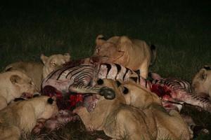 ТОП 10 нападений хищников