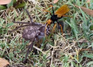 Оса против тарантула