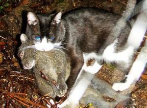 Лазающий заяц стал жертвой кошки