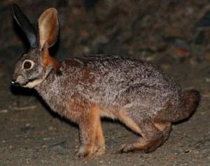 Бушменов заяц