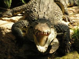 Смертельная схватка крокодилов