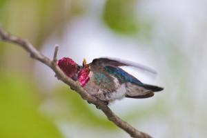 Самец колибри вчелки на ветке