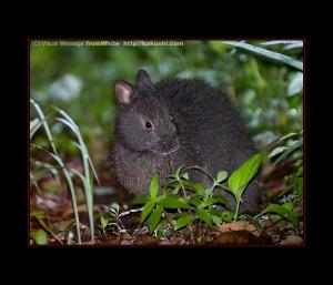 Кролик Рюкю