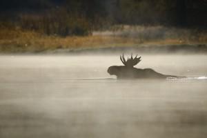 Лоси прекрасно плавают