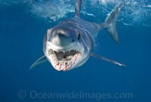 Челюсти акулы мако