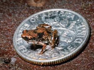 Самая маленькая лягушка в мире