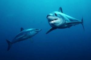 Пара акул мако