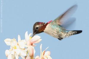 Колибри опыляет цветок