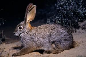 Речной кролик