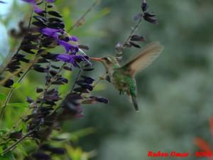 Самка птички-пчелки