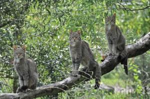 Семья диких лесных кошек