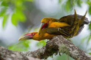 Спаривание туканов арасари на ветке дерева