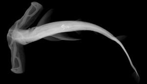 Скелет рыбы-молота