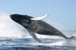 Голубой кит в прыжке