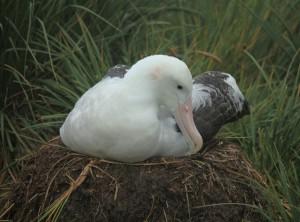 Самка странствующего альбатроса на гнезде