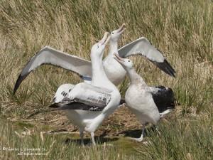 Странствующие альбатросы в брачный сезон