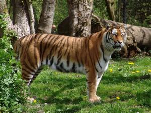 Взрослый уссурийский тигр