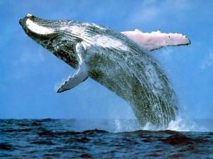 Синий кит выпрыгивающий из воды
