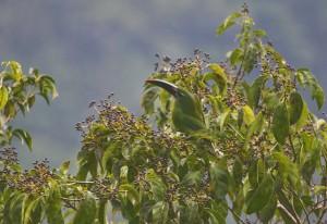 Туканет Дерби в листве деревьев