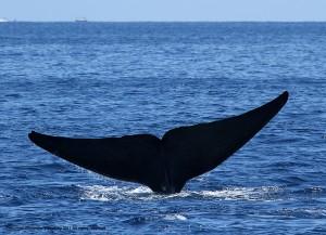 Огромный хвост синего кита