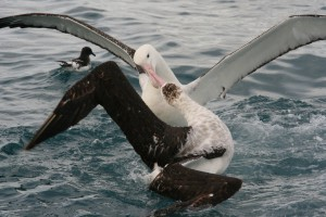 Родетель кормит молодого альбатроса