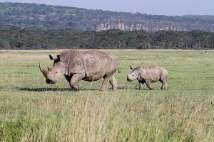 Самка белого носорога с детенышем
