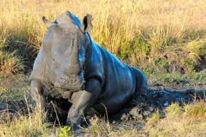 Белый носорог принимает грязевую ванну