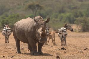 Огромный рог носорога невозможно незаметить